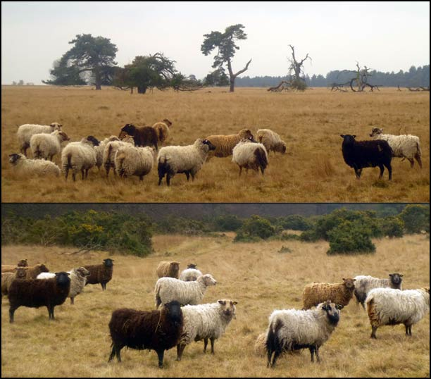 Thetford Forest sheep