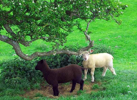 Burrough Hill sheep
